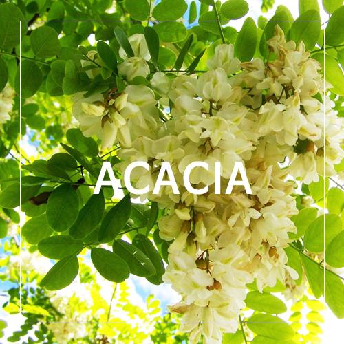 [USA] ACACIA_아카시아(WL)