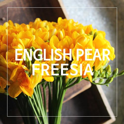 [USA] ENGLISH PEAR FREESIA_잉글리시 페어 프리지아(WL)